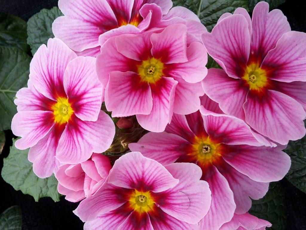 Der Frühling kommt … - Primeln