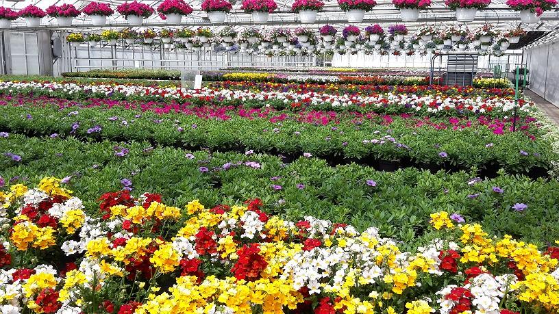 Wir kultivieren auf 6000 m² ein riesen Sortiment an - Beet- und Balkonpflanzen
