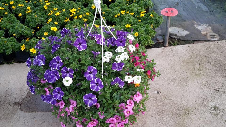 … mehr als 3000 Ampelpflanzen - Ampel-Sortiment