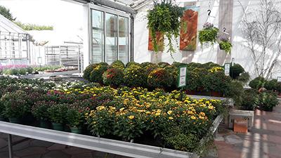 Ein Symbol des Herbstes - Chrysanthemen