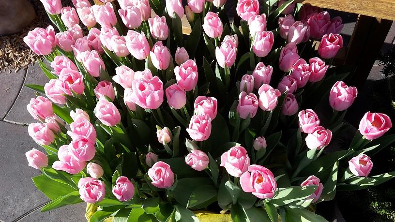 Der Frühling kommt … - Tulpen