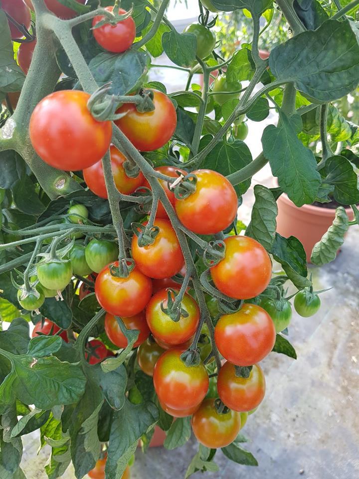 Kaufen wo es wächst! - Tomaten