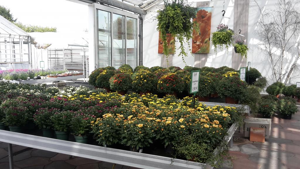 Ein Symbol des Herbstes - Chysanthemen