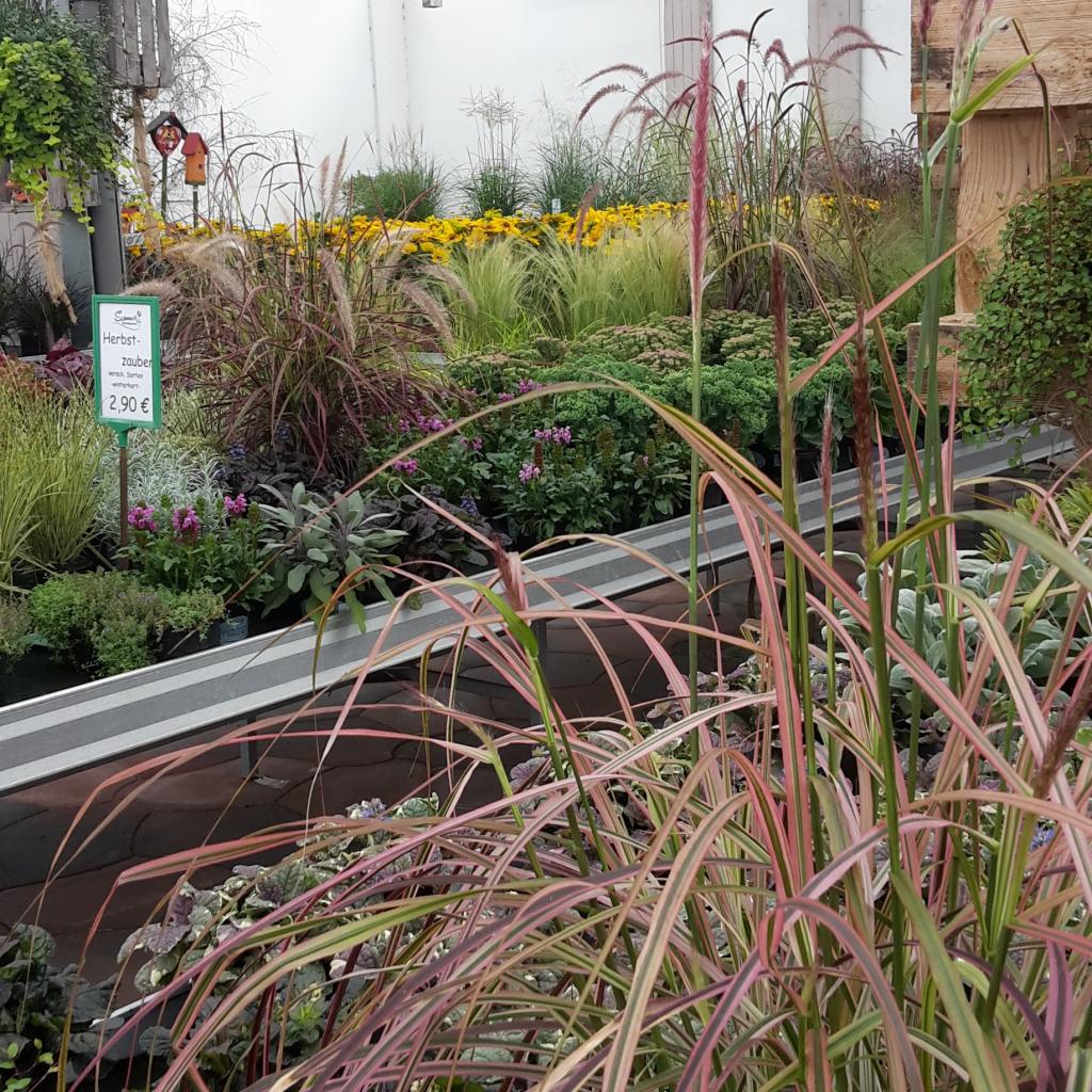 Ein eleganter Begleiter für herbstliche Pflanzenkombinationen - Anmutige Gräser